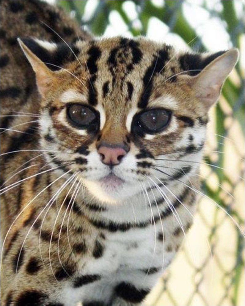 Бенгальская кошка.Фотографии породы кошек Бенгальская. Дата закачки