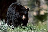 Американские полицейские сняли черного медведя с дерева, растущего на...