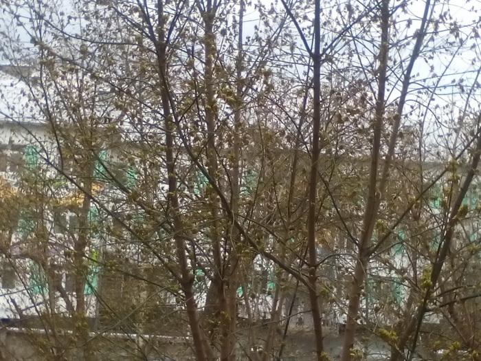 Когда распускаются листья березы в 2018 году