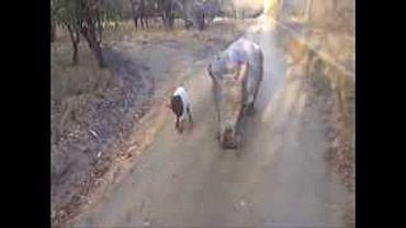 Детеныш носорога думает, что он - овечка