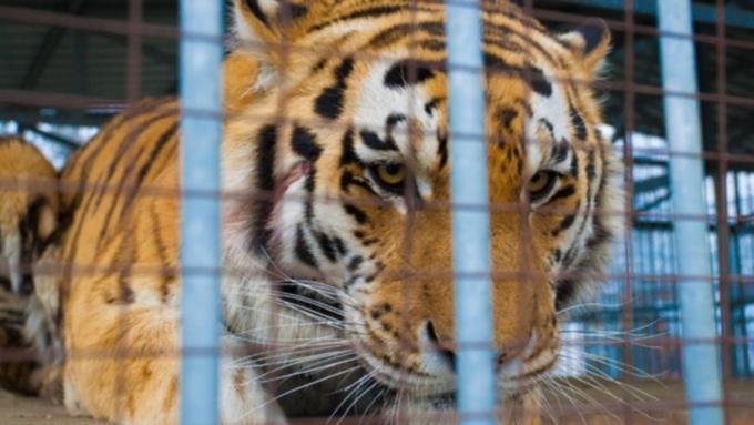 Девочке, пострадавшей оттигра вбарнаульском зоопарке, сделали пластическую операцию