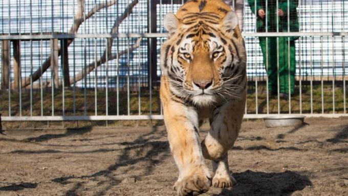 ПослеЧП сошкольницей итигром барнаульский зоопарк закроют для нетрезвых