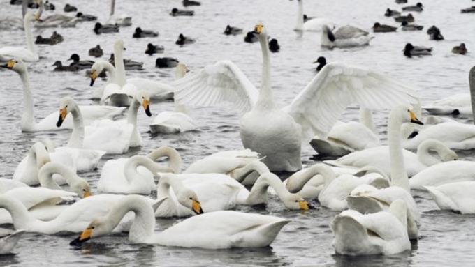 Лебеди-кликуны прилетели нанезамерзающее озеро вАлтайском крае