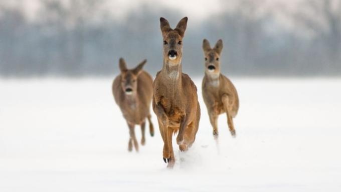 Из-за снегопадов вАлтайском крае косулям угрожает массовая смерть