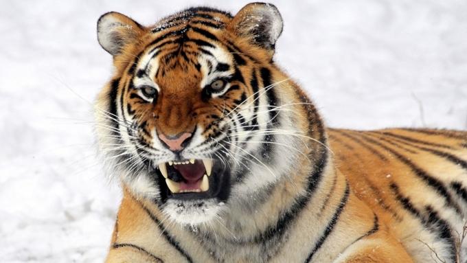 ВХабаровском крае молодой тигр умер отлап взрослой тигрицы