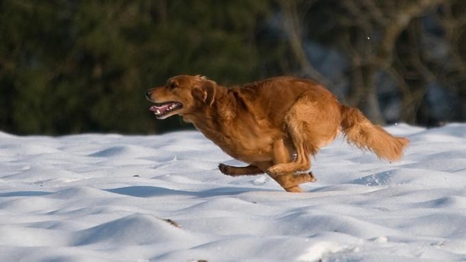 Ретривер спас своего владельца от смертоносного обморожения вСША