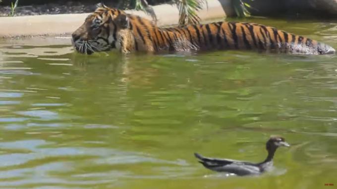 ВАвстралии утка издевается над тигром
