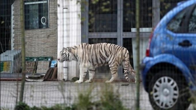 Избродячего цирка вИталии бенгальский тигр убежал отхозяев