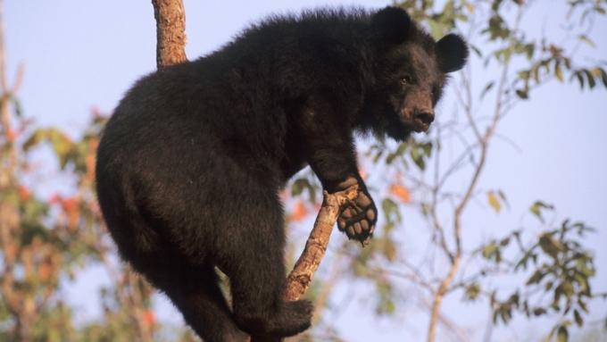ВТаиланде гималайский медведь разбился, выпав извертолета