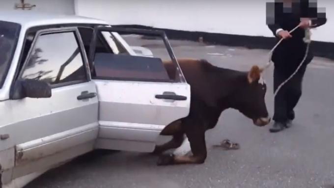 ВКЧР опубликовали видео похищения коровы всалоне ВАЗ