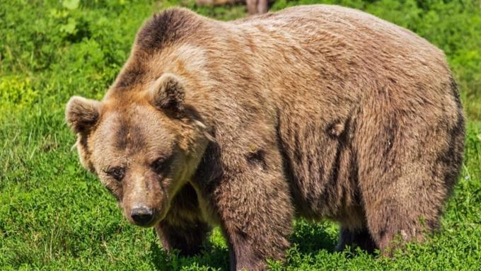 Медведь напал и достаточно серьезно ранил человека наКамчатке