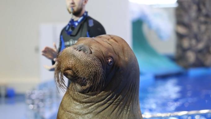 Морж нырнул впустой бассейн вПриморском океанариуме