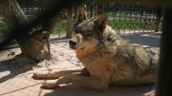 Волк откусил ребенку ухо вбарнаульском зоопарке «Лесная сказка»