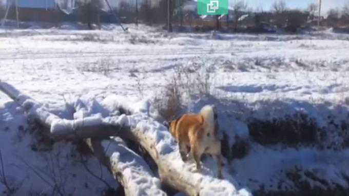 Смешное видео: после советов владельца собачка упала вводу