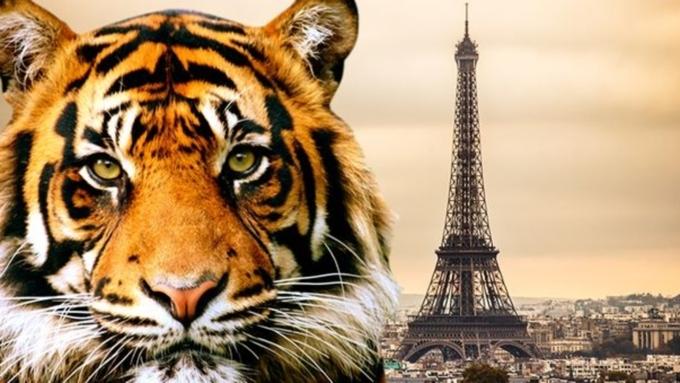 Встолице франции убили сбежавшего изцирка тигра