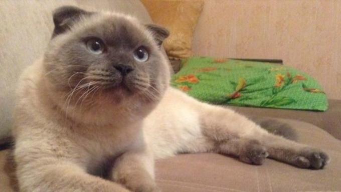 Мурманский кот Сэм— на14 месте вмедиарейтинге котиков
