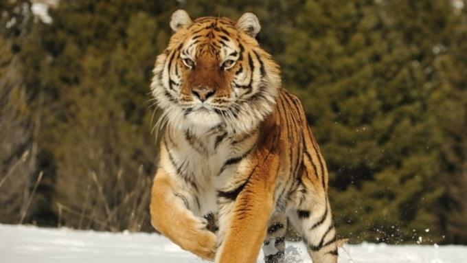 Истощенная тигрица пришла наверанду частного дома— Хабаровск