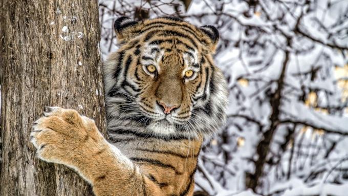 Сколько стоит живая тигрица