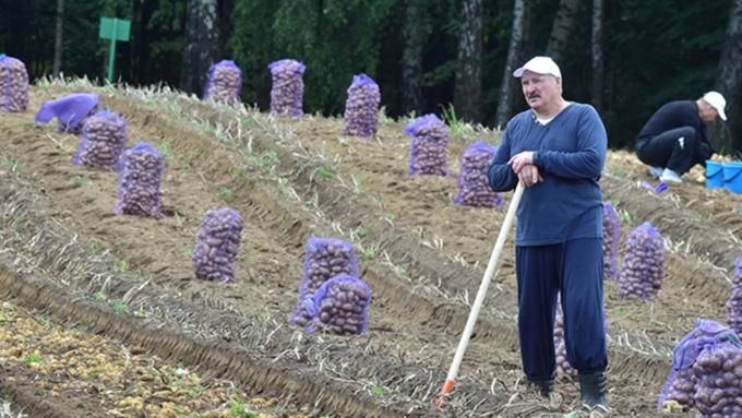 Лукашенко собрал картошку иарбузы ссобственного участка