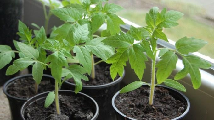 Как вырастить крепкую рассаду помидоров, баклажанов и перцев