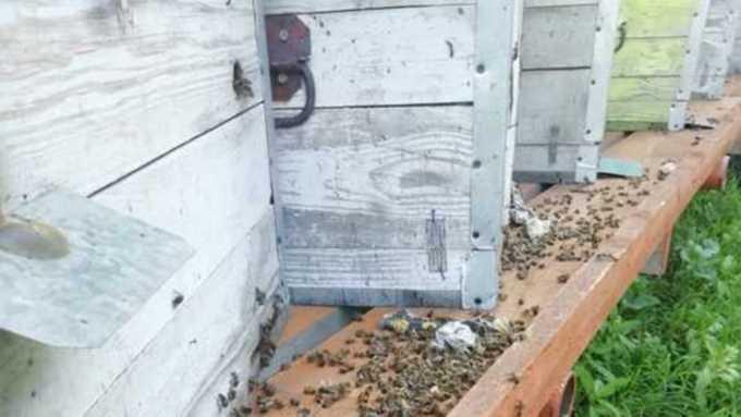 Пасечники Алтая вновь жалуются на отравление пчёл, а эксперт предупреждает о новых бедах