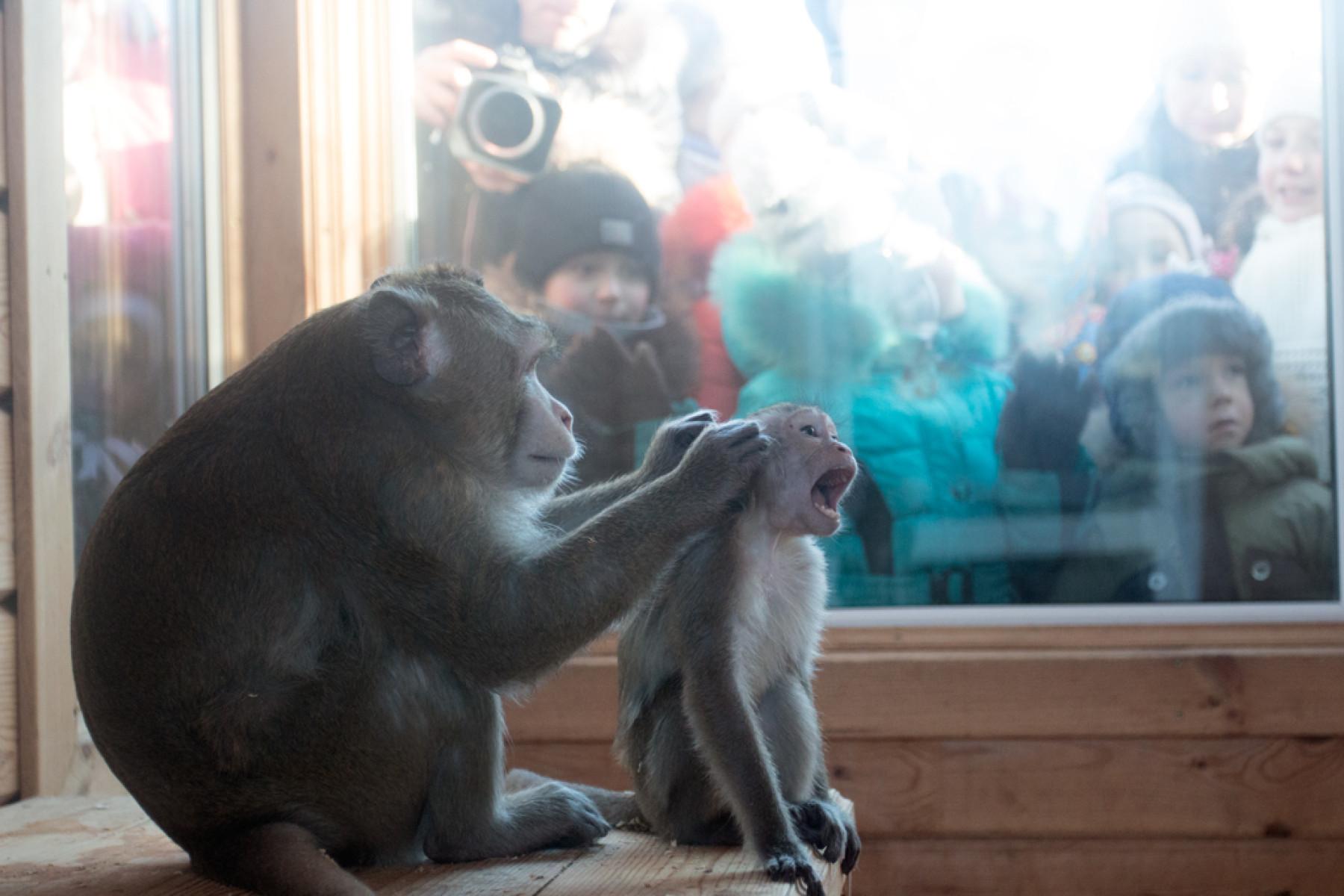 Секс с гориллой макакой