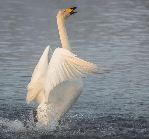 куда летят лебеди на зимовку